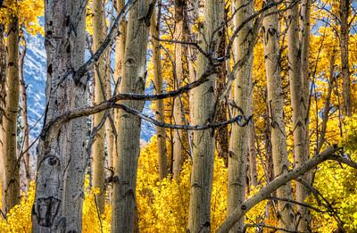 fall-aspen-trunks-3