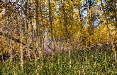 yellow-aspen-forest-1