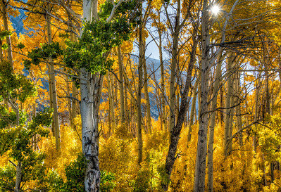 aspen-forest-autumn-leaves-10