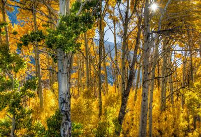 aspen-forest-autumn-leaves-10