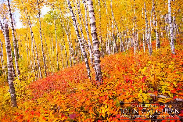 Birch(fall26k)
