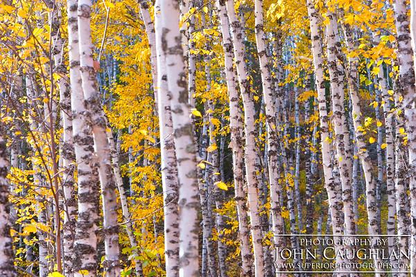 Birch(fall26s)