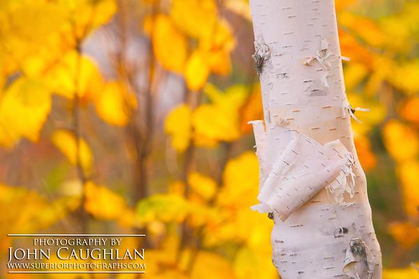 Birch(fall31d)