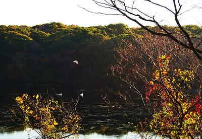 East Meadow Pond 10-25-11 Swans 1