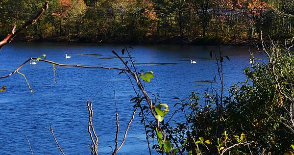 East Meadow Pond 10-25-11 4 Swans 1