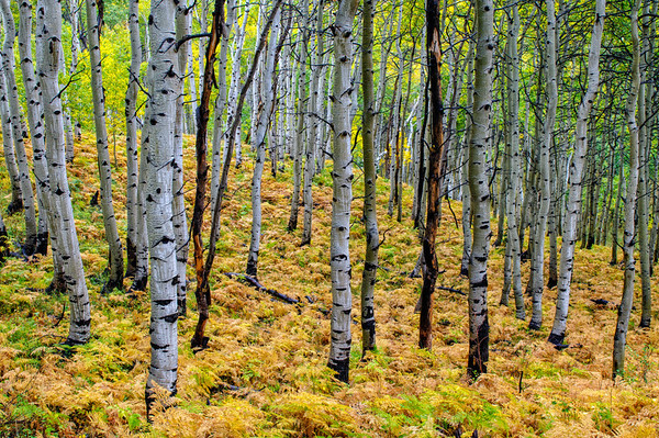 Aspen Grove - Wasatch Mountains - Utah
