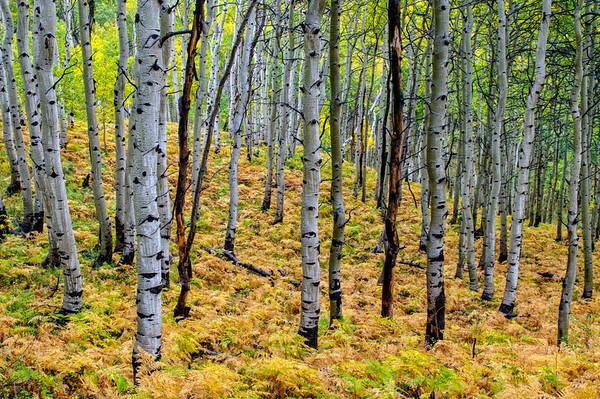 Aspen Grove - Wasatch Mountains - Utah