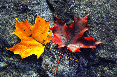 A fallen leaf is nothing more  than a summers wave good bye