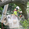 An employee with Lewis Tree Service works on cutting up a very large tree that fell across High Street in Leominster on Thursday. National Grid was on scene to turn off the power because the tree had hit the power lines. SENTINEL & ENTERPRISE/JOHN LOVE