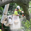 An Employee with Lewis Tree Service works on cutting up a very large tree that fell across High Street in Leominster on Thursday. National Grid was on scene to turn off the power because the tree hat hit the power lines. SENTINEL & ENTERPRISE/JOHN LOVE