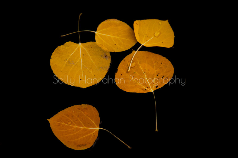 Floating Aspen Leaves #3