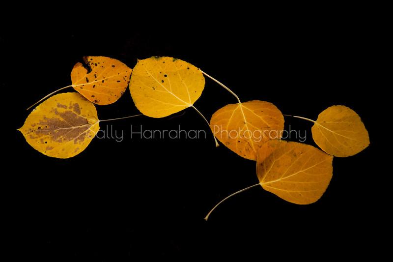 Floating Aspen Leaves #1