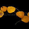 Floating Aspen Leaves #1