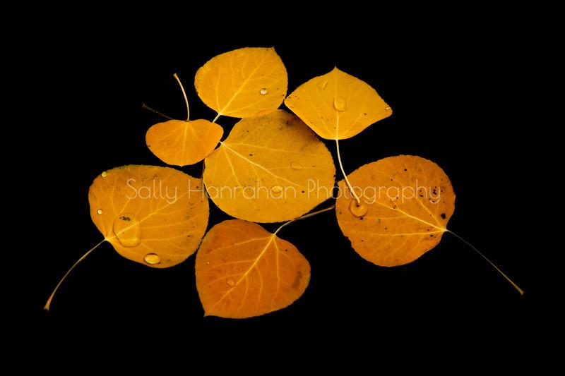 Floating Aspen Leaves #2