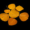 Floating Aspen Leaves #2