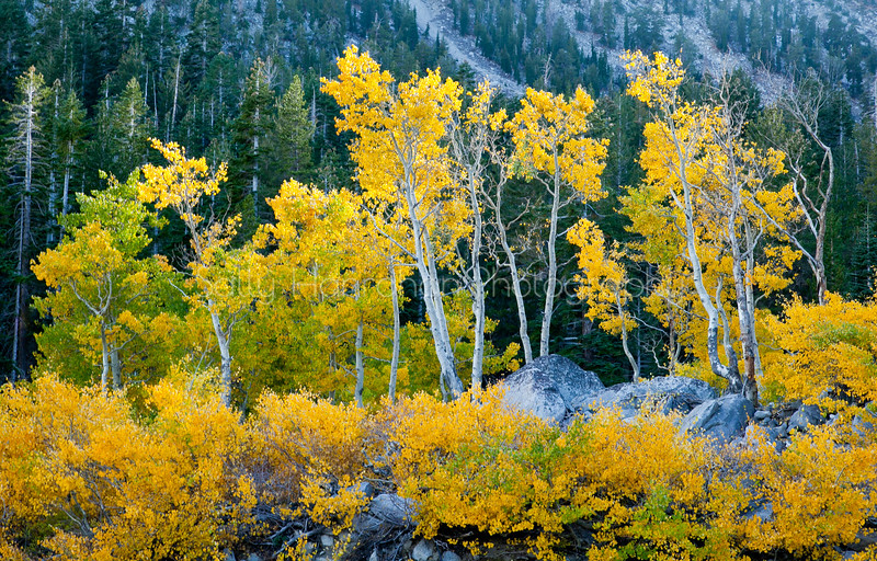 Mt Rose Aspens