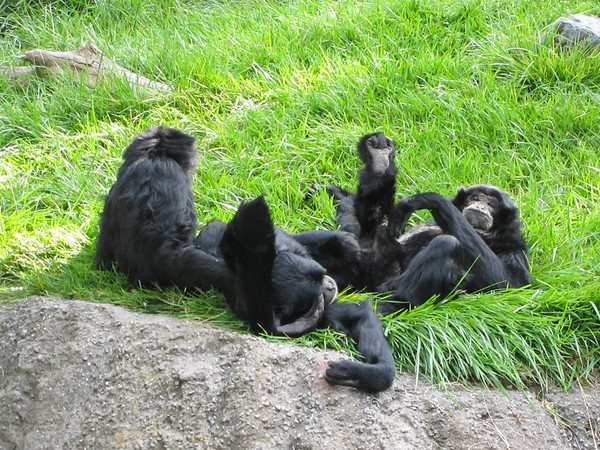 Pile o' gibbons! (Zoo Day)