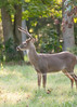 Deer at Pattie's 9-2014-8401