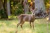 Deer at Pattie's 9-2014-8412