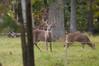 Deer at Pattie's 9-2014-8363
