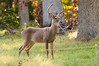 Deer at Pattie's 9-2014-8420