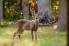Deer at Pattie's 9-2014-8415