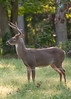 Deer at Pattie's 9-2014-8407