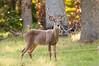 Deer at Pattie's 9-2014-8418