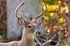 Deer at Pattie's 9-2014-8420-2