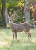 Deer at Pattie's 9-2014-8403