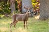 Deer at Pattie's 9-2014-8421