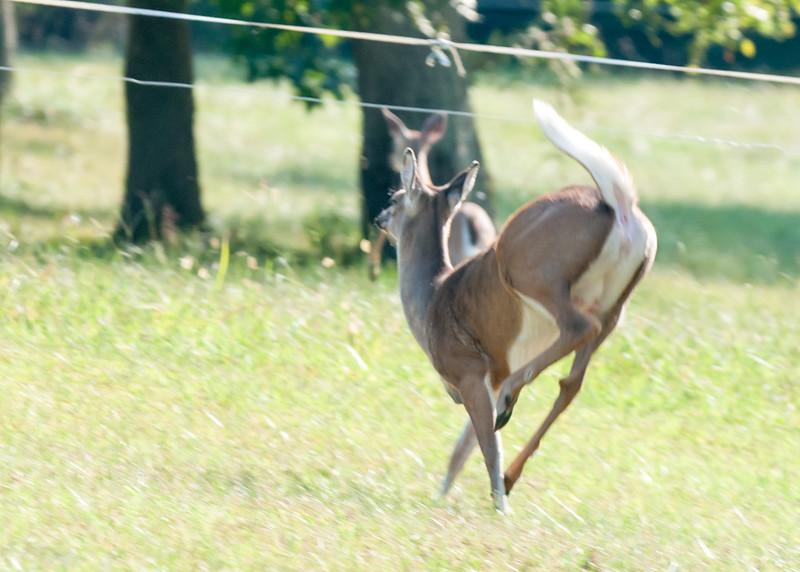 Deer at Pattie's 9-2014-8328