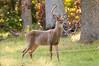 Deer at Pattie's 9-2014-8423