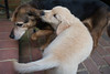 Smyth Pups June 2013-0701