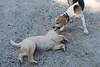 Smyth Pups June 2013-0823