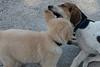 Smyth Pups June 2013-0828