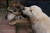Smyth Pups June 2013-0702