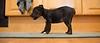 Smyth's new pup HATTIE  12-22-13-4963
