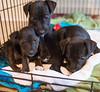 Smyth's new pup HATTIE  12-22-13-4707