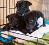 Smyth's new pup HATTIE  12-22-13-4701