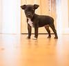 Smyth's new pup HATTIE  12-22-13-4929