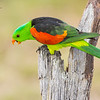 Red-Winged Parrot Aprosmictus erythropterus