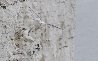 ault - le tréport, noordse stormvogel