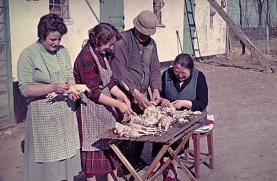 Kyllingerne plukkes. Rie, Grethe, Jens og farmor Renberg.