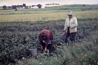 Kartoffelhøst. Rie ? og Jens Renberg.