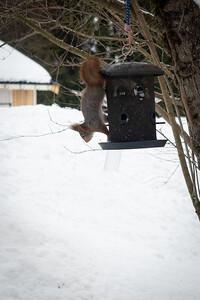 Et egern indtager fuglemad