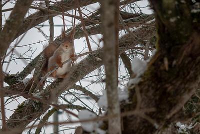 Et egern i et træ