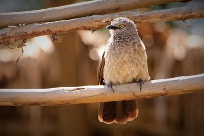Brown Babbler (Turdoides plebejus)