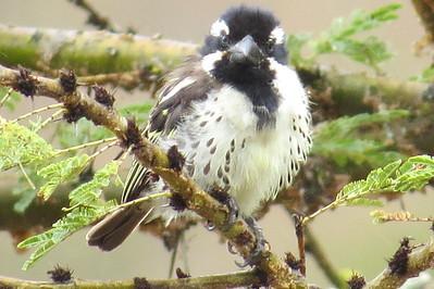 Spot-flanked Barbet (Tricholaema lacrymosa)