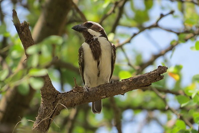 Black-throated Barbet (Tricholaema melanocephala)